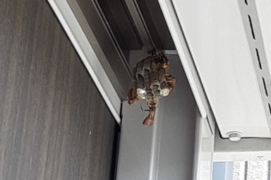 袋井市のアシナガバチの巣
