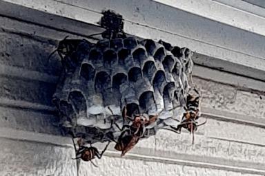 袋井市のハチ駆除現場