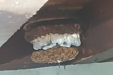 磐田市の床下に巣を作るスズメバチ