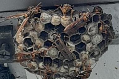 浜松市浜北区でアシナガバチ駆除のご依頼