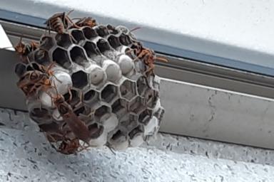 テラス屋根に巣を作るアシナガバチ