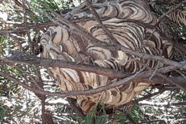 豊橋市で庭木の中にできたスズメバチの駆除をしてきました