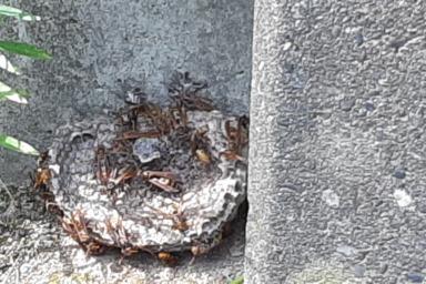 浜松市でアシナガバチの駆除
