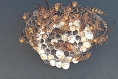 新城市でアシナガバチ駆除