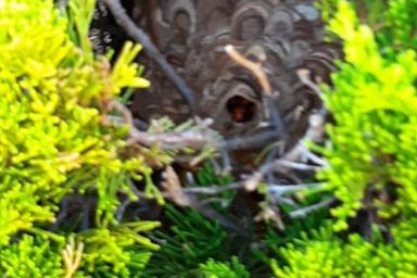 浜松市のスズメバチの巣駆除